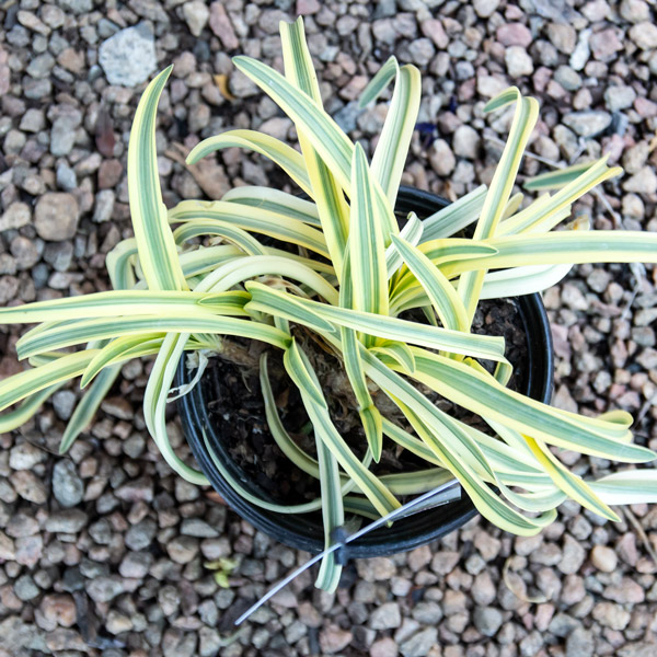 70008975 - Agapanthus Summer Gold - Nile Lily 17cm (3)