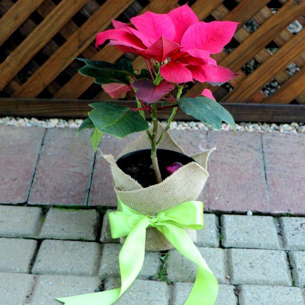 70012692 - Gift Wrapped Poinsettia