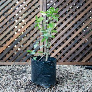Trachelospermum Jasminoides – Star jasmine 4L