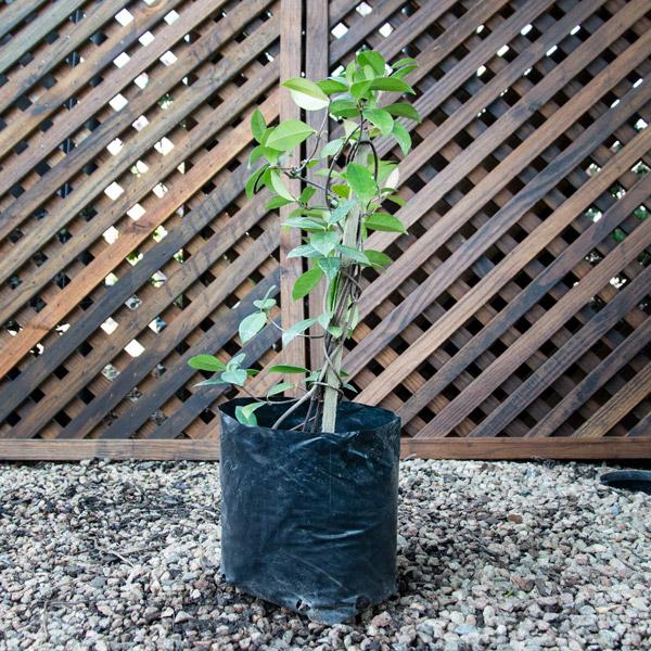 70039122 - Trachelospermum Jasminoides - Star jasmine 4L