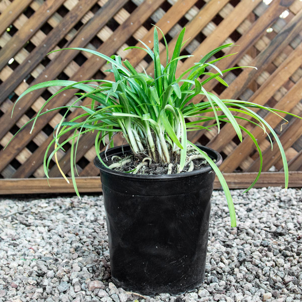 70039208 - Agapanthus Blue - Lily Of the Nile 20cm