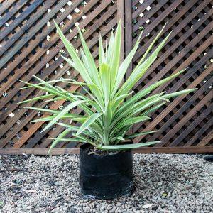 Yucca elephantipes – Spineless Yucca 8L
