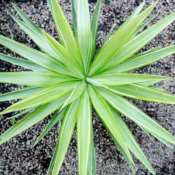 70039330 - Yucca Eleph 8L (4)