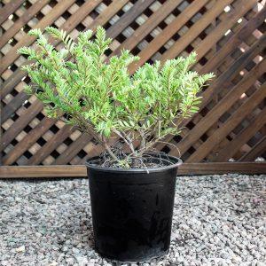 Hebe Diosmifolia – Veronica 20cm