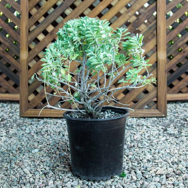 70043677 - Salvia Varieties 17cm