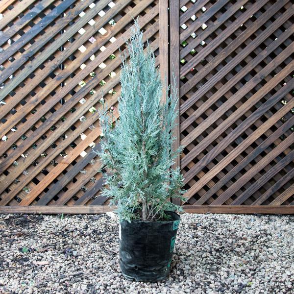 70043704 - Juniperus