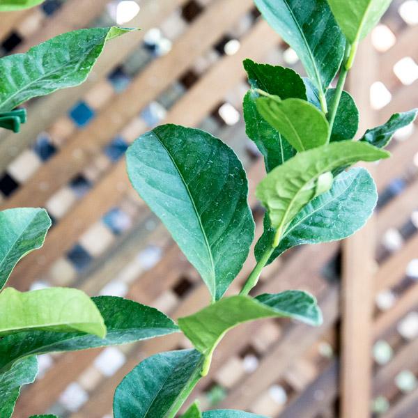 70048809 - Citrus Lemon Eureka 20L STD (2)