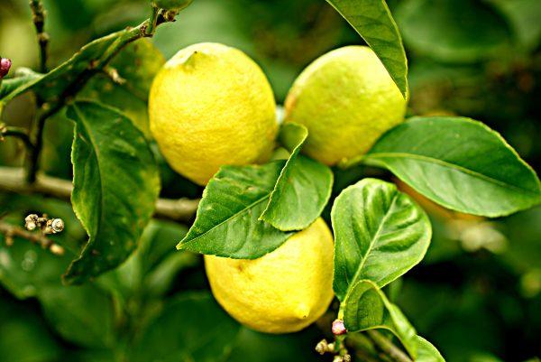 70048809 - Citrus Lemon Eureka