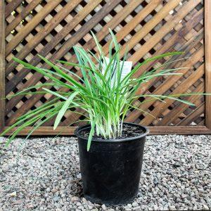 Agapanthus  Snow Storm  – Nile Lily 20cm