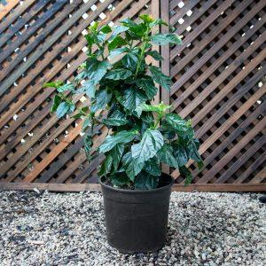Hibiscus Variety 19cm