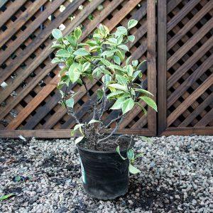 Trachelospermum Varigated  – Star jasmine