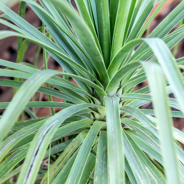 70056315 - Beaucarnea Recurvata - Ponytail Palm 40L (2)