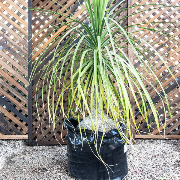 70056315 - Beaucarnea Recurvata - Ponytail Palm 40L
