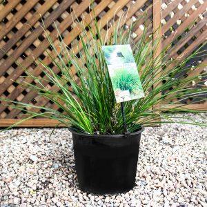 Lomandra Longifolia 4L