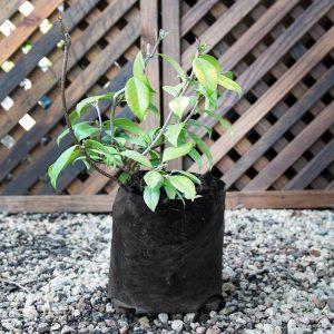 Trachelospermum Jasminoides – Star jasmine