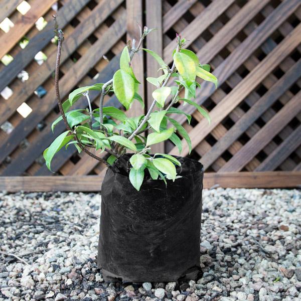 80001033 - Trachelospermum Jasminoides - Star jasmine
