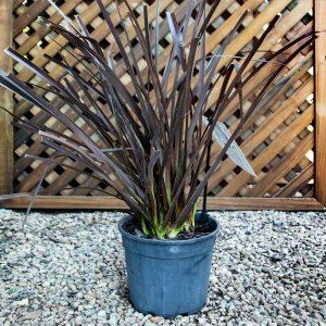 Phormium Tenax Rubra – Dwarf Flax 15cm