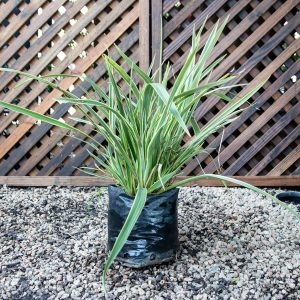 Phormium Wings Of Gold – New Zealand Flax 4L