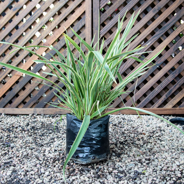 85475123 - Phormium Wings Of Gold - New Zealand Flax 4L