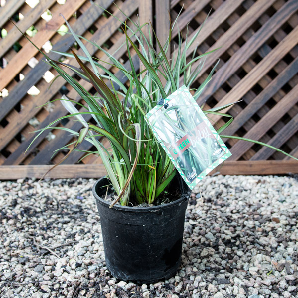 92001344 - Phormium Baby Green - New Zealand Flax
