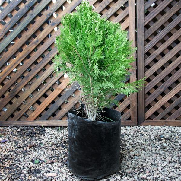 92002176 - Platycladus Orient - Chinese Thuja