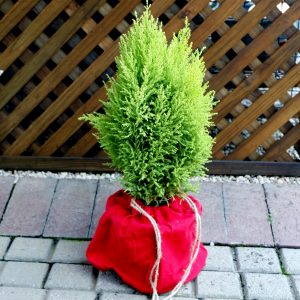 Gift Cupressus Wrapped