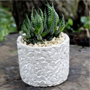 Gift Val Succulent