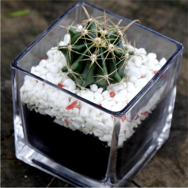 70062421 -Valentines Cactus (3)
