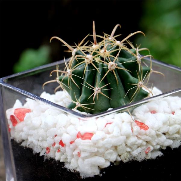 70062421- Valentines Cactus (4)