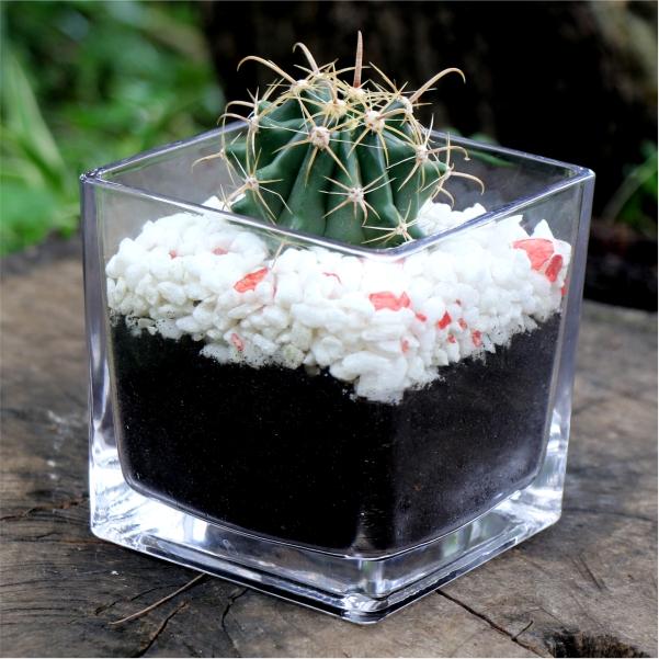 70062421- Cactus