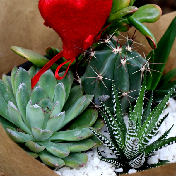 70062425 - Valentines Succulent Bowl Wrapped (2)