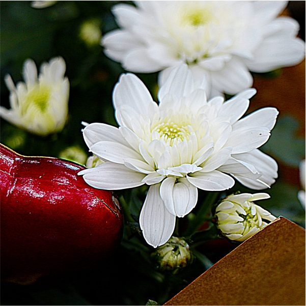 70062429 - Valentines Chrysanthemum (2)