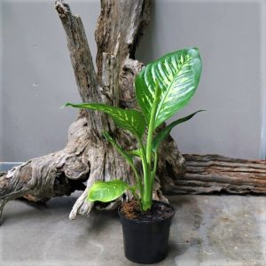 Dumb Cane – Dieffenbachia variety 15cm