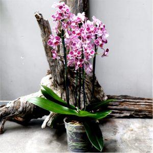 Phalaenopsis multistem  – Moth Orchid 17cm