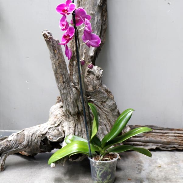 70044805 - Phalaenopsis 1Stem - Moth Orchid 12cm