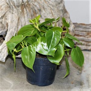 Philodendron Scandes – Sweetheart vine 14cm