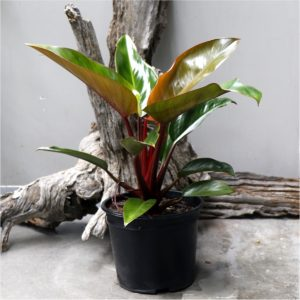 Philodendron Imperial red – Bronze red foliage 23cm