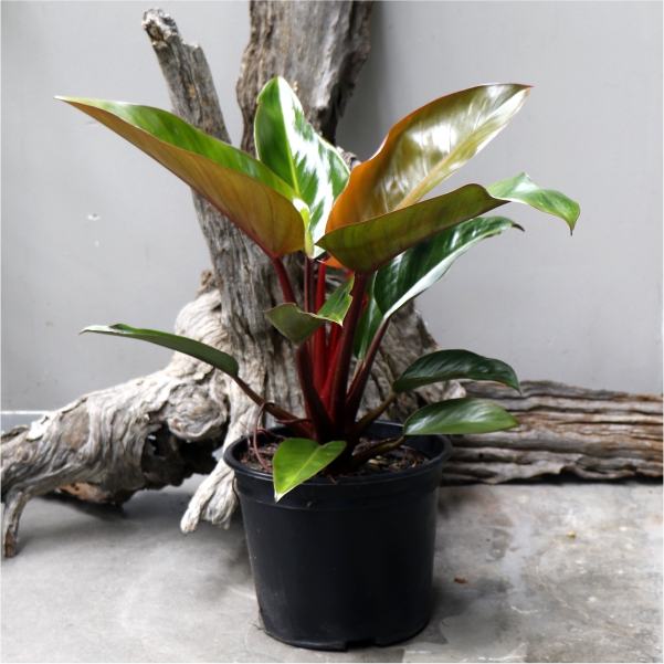 70061106 - Philodendron Imperial red - Bronze red foliage 23cm (2)