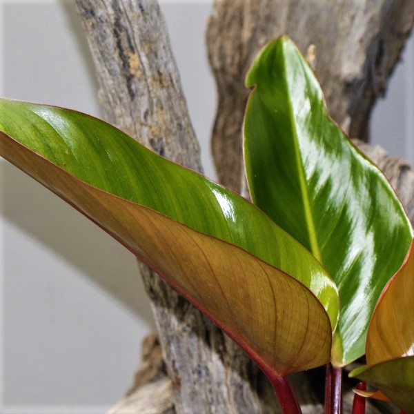 70061106 - Philodendron Imperial red - Bronze red foliage 23cm (3)