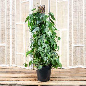 Sweatheart Vine – Philodendron Scandens 30cm
