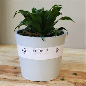 Light Grey Eco pot with Dragon Tree