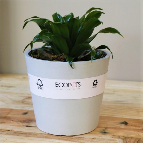 70013168 - Light Grey Eco pot with Dragon Tree