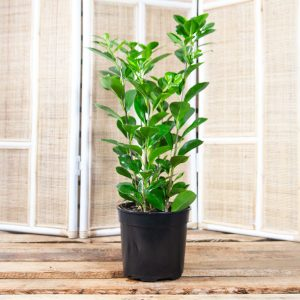 Ficus Moclame – Hills Weeping Fig 20cm