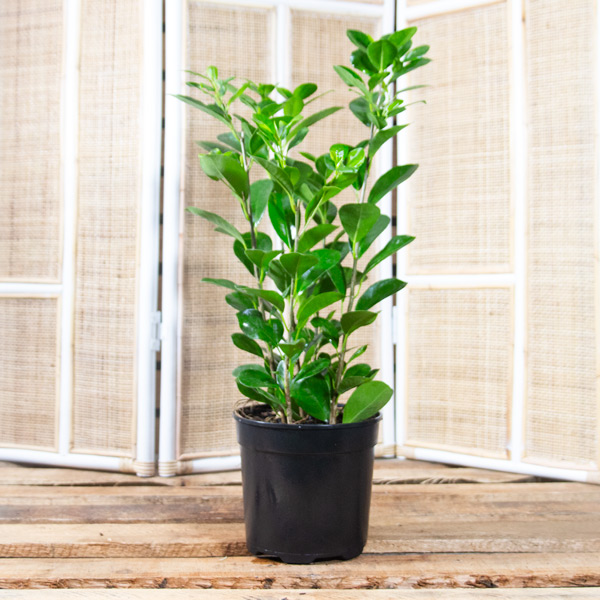 70055308 - Ficus Moclame - Hills Weeping Fig 20cm