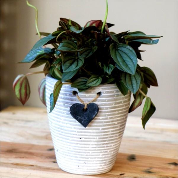 70063164 White Striped Pot With Peperomia