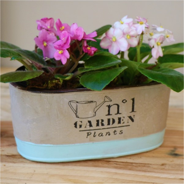 70063166 -Two tone Grey and blue Container with African violets
