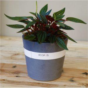 Grey Eco pot with Peperomia