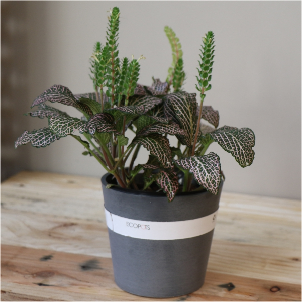 70063169 - Eco Grey pot with Nerve Plant