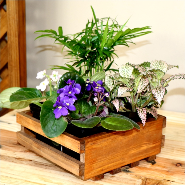 70063171 -Wooden Tray Mixed With Nerve Plant ,Love Palm And African Violet
