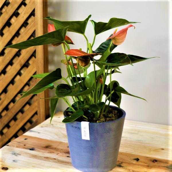 70063173 - Grey Eco pot with Flamingo Plant